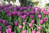 Tulips, purple and white