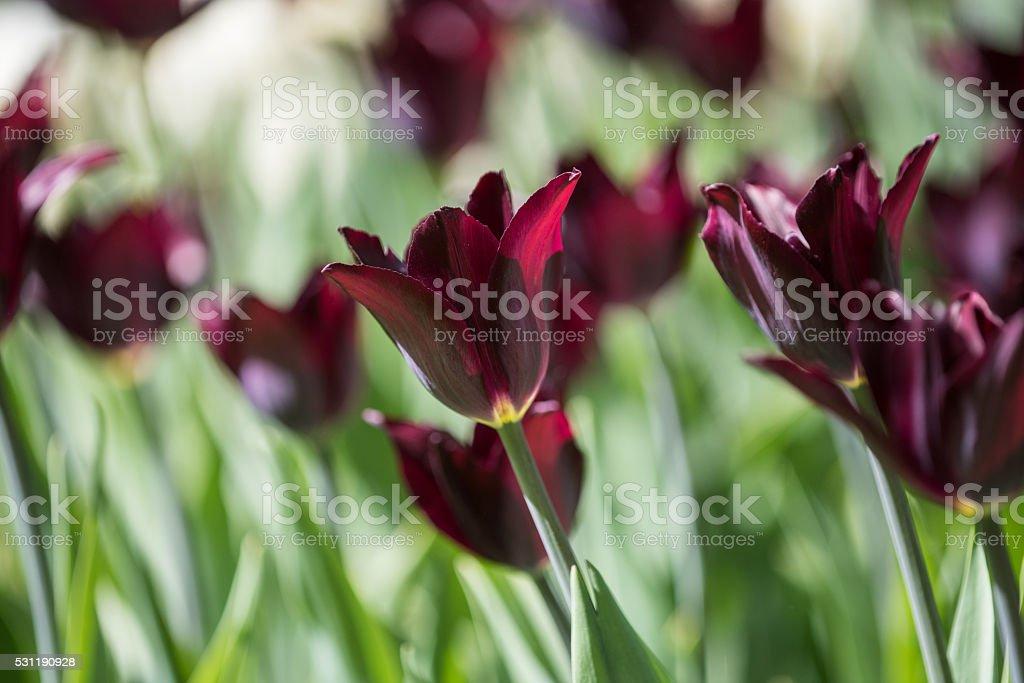 tulips rich dark variety Queen of  Night stock photo