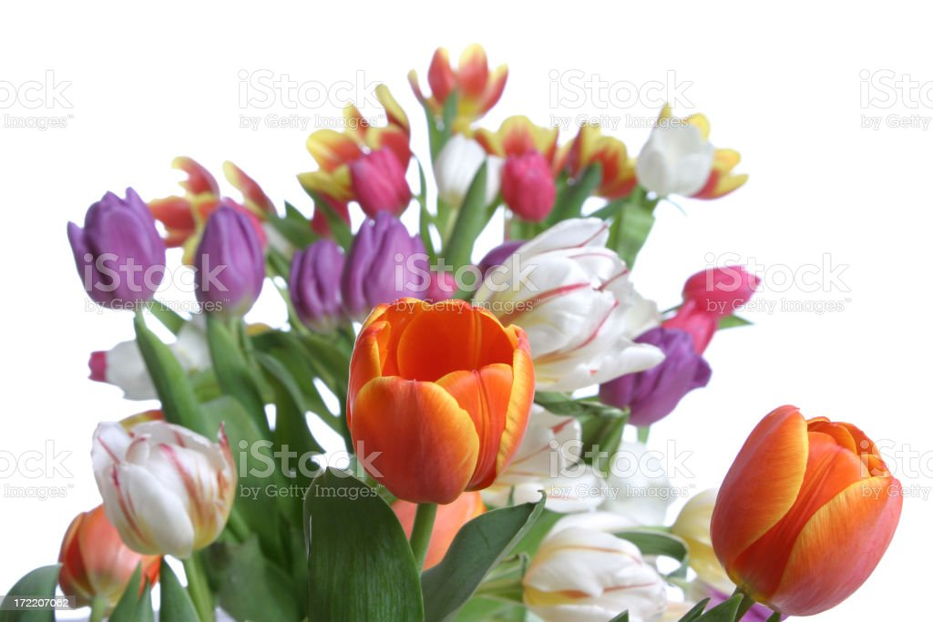 Tulips Series (Centered) royalty-free stock photo