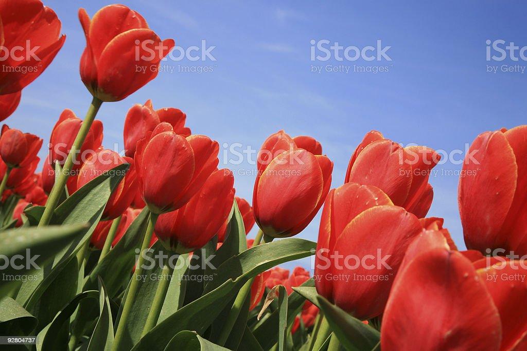 Tulips - spring flowers royalty-free stock photo