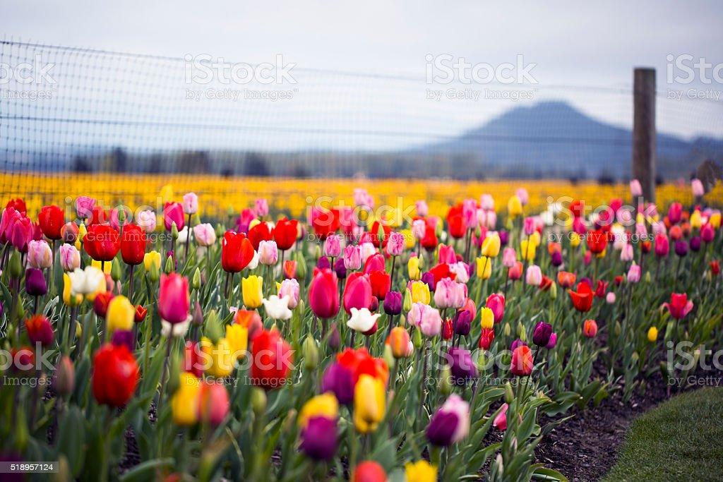 Tulips - Stock Image stock photo