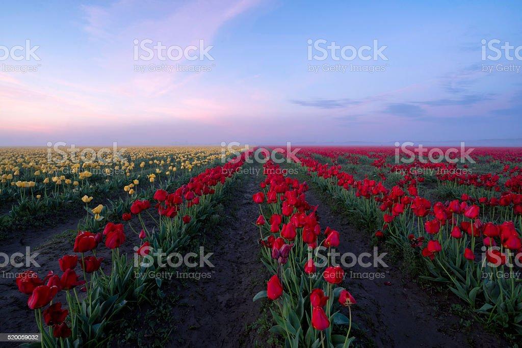 Tulips Sunrise stock photo