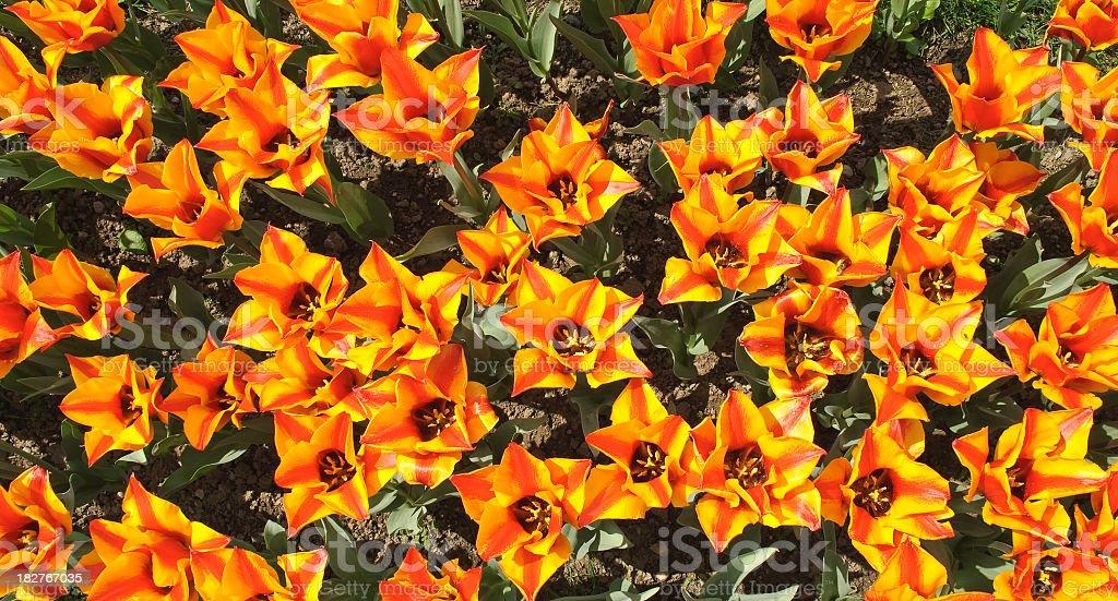 Tulips texture stock photo