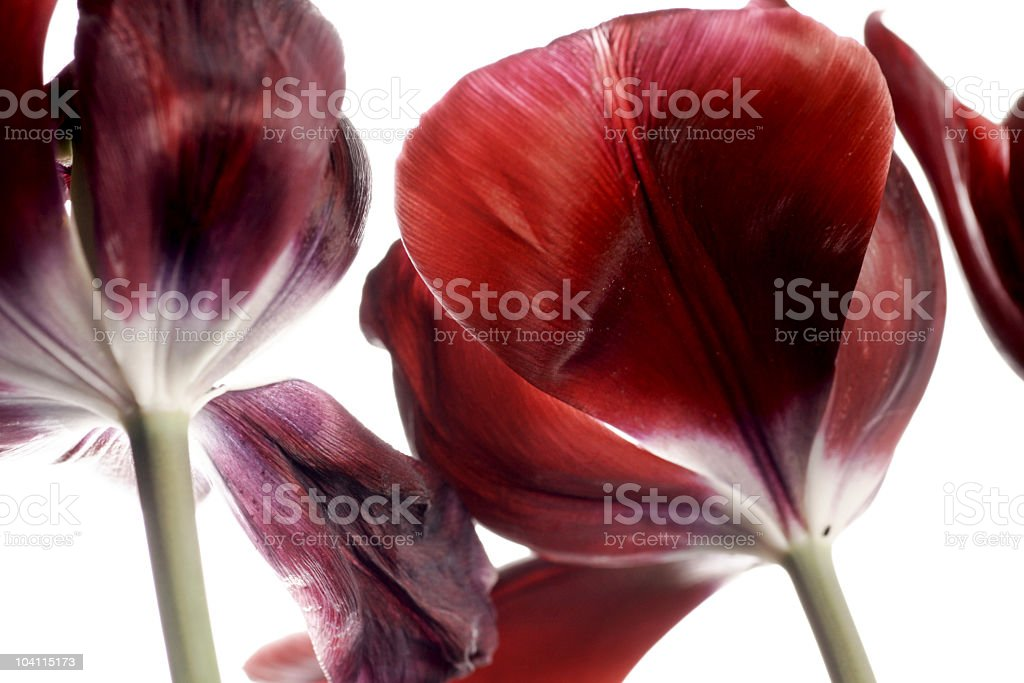 Tulips toward the sky stock photo