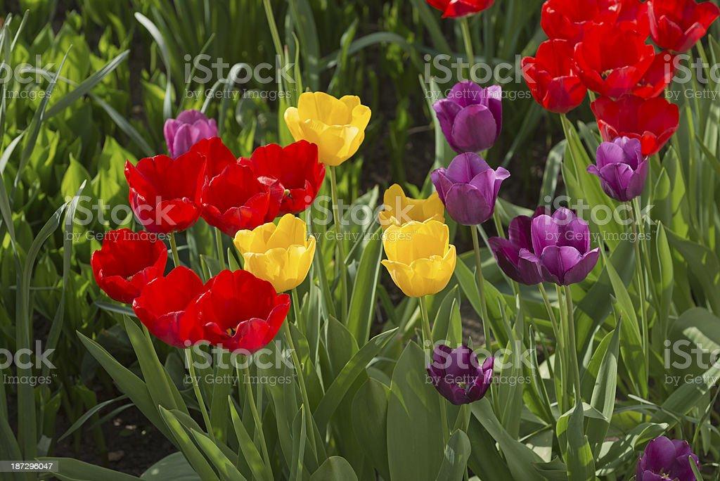 Tulips Tulipa  (image size XXXL) stock photo