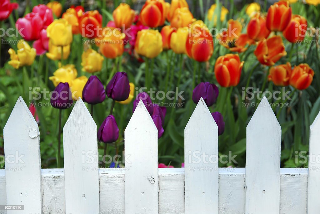 Tulips white fence royalty-free stock photo
