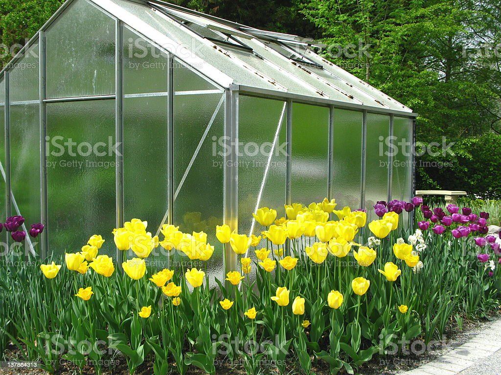 Tulips with Greenhouse royalty-free stock photo