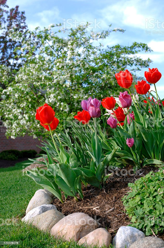 Tulips with professional landscaping stock photo