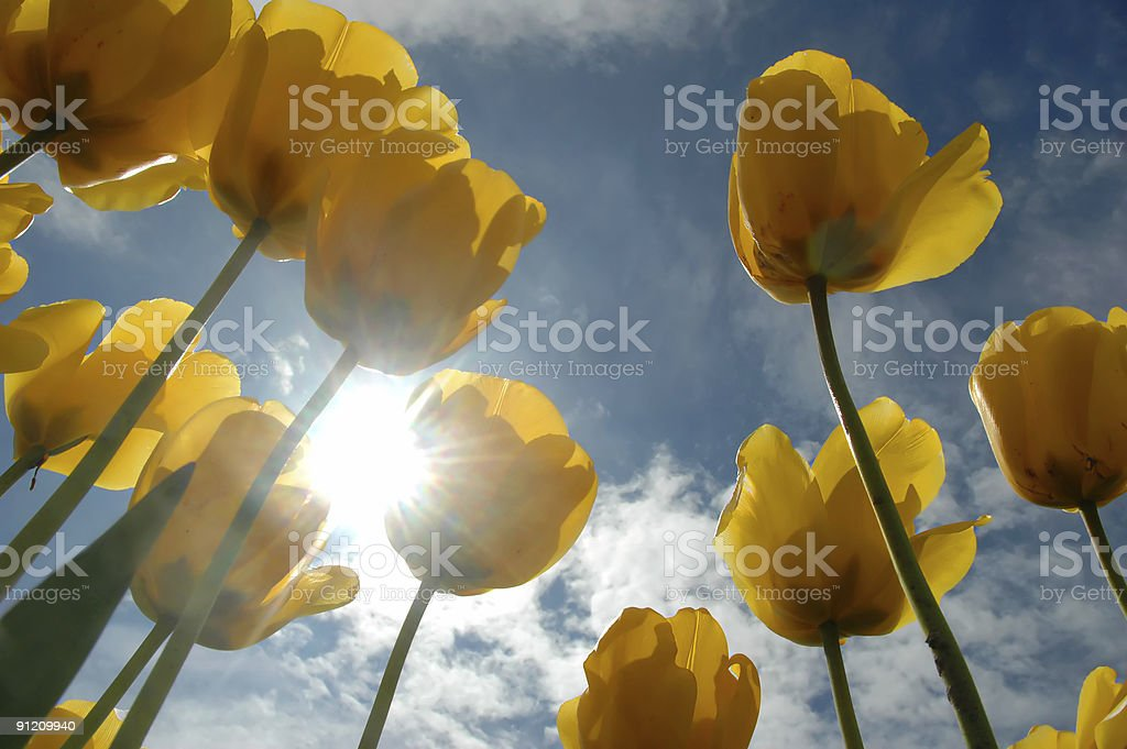Tulips with sunstar royalty-free stock photo