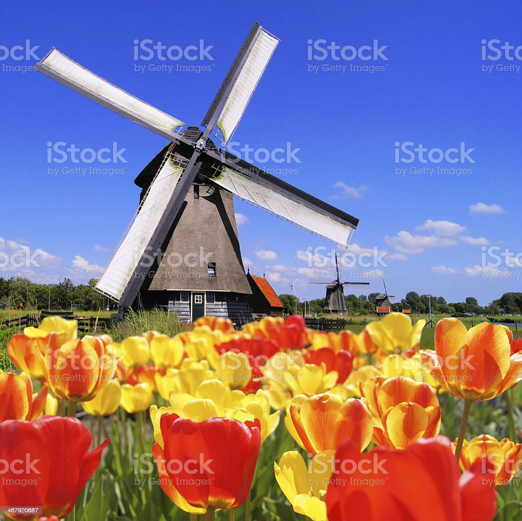 Tulips with traditional Dutch windmill stock photo