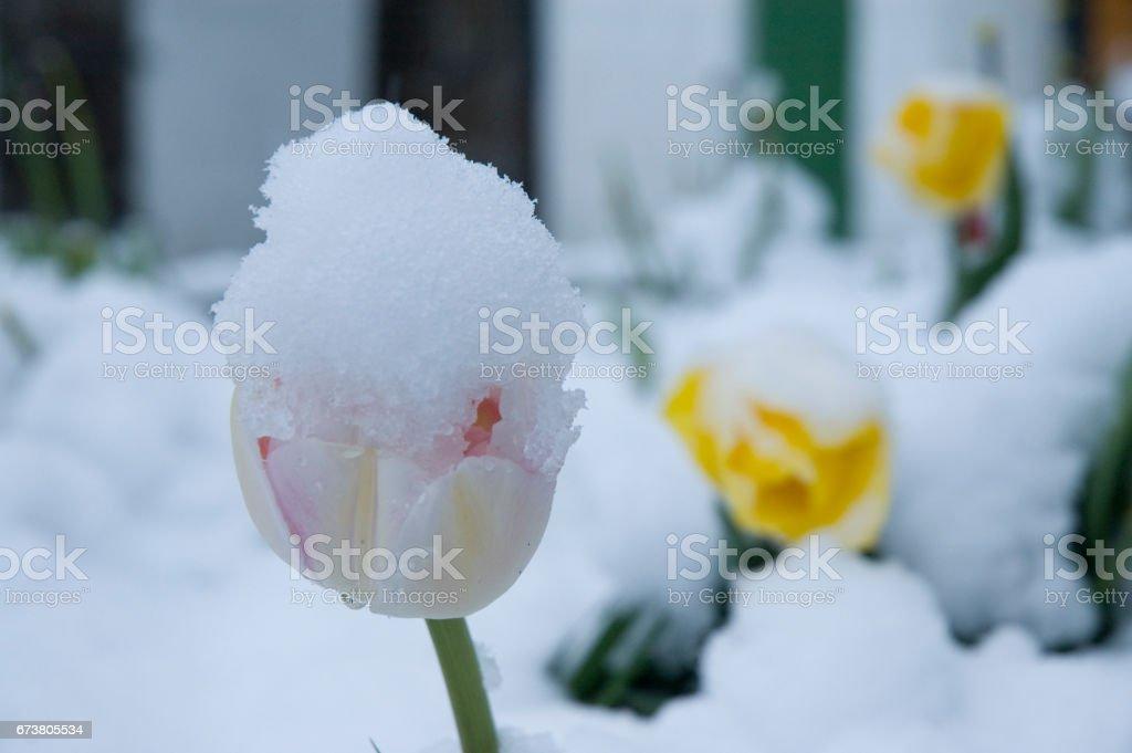 Tulpe mit Schneehaube stock photo