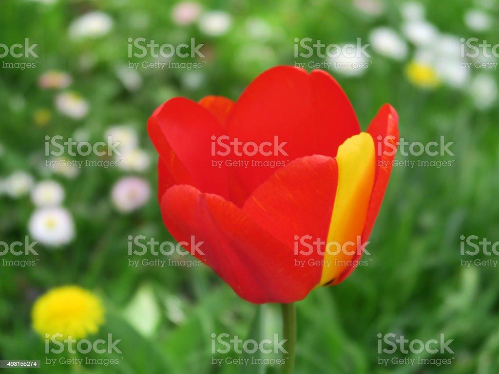 Tulpe, Tulipa stock photo