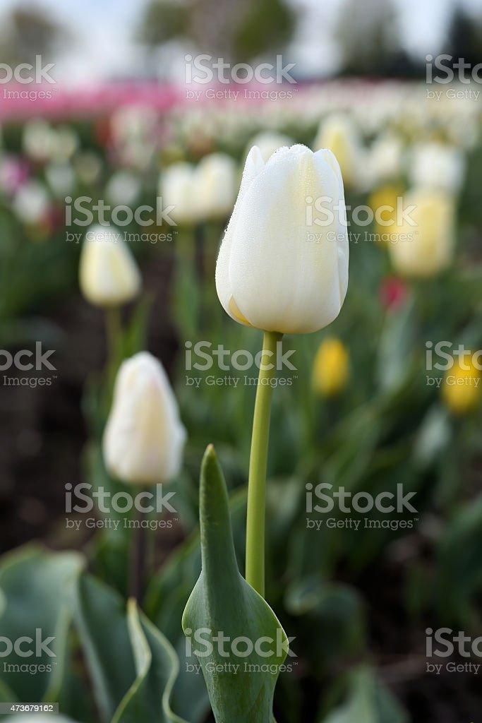 Tulpen auf einem Tulpenfeld stock photo