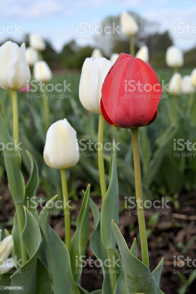 Tulpen im Fr?hling stock photo