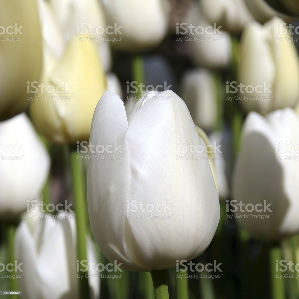 Tulpen stock photo