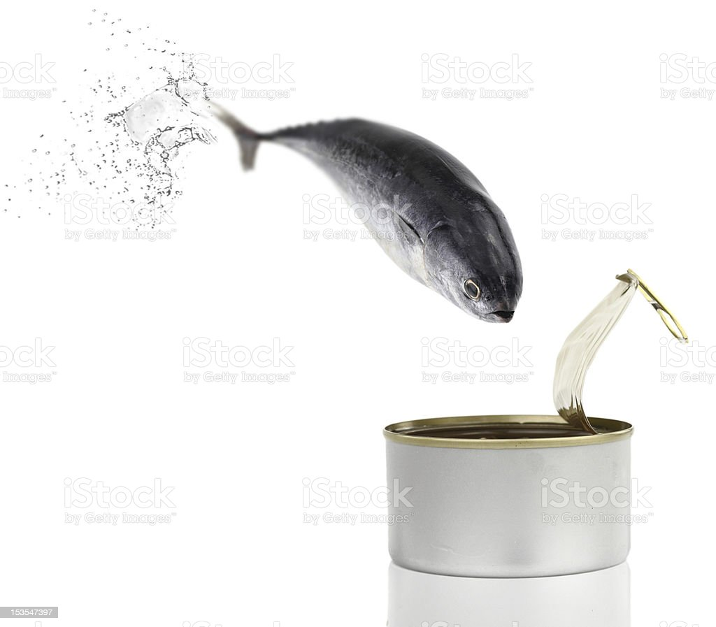 Tuna fish jumping from water and straight into a can stock photo