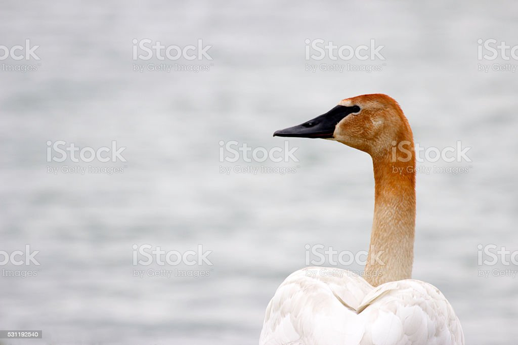 Tundra or Trumpeter Swan stock photo