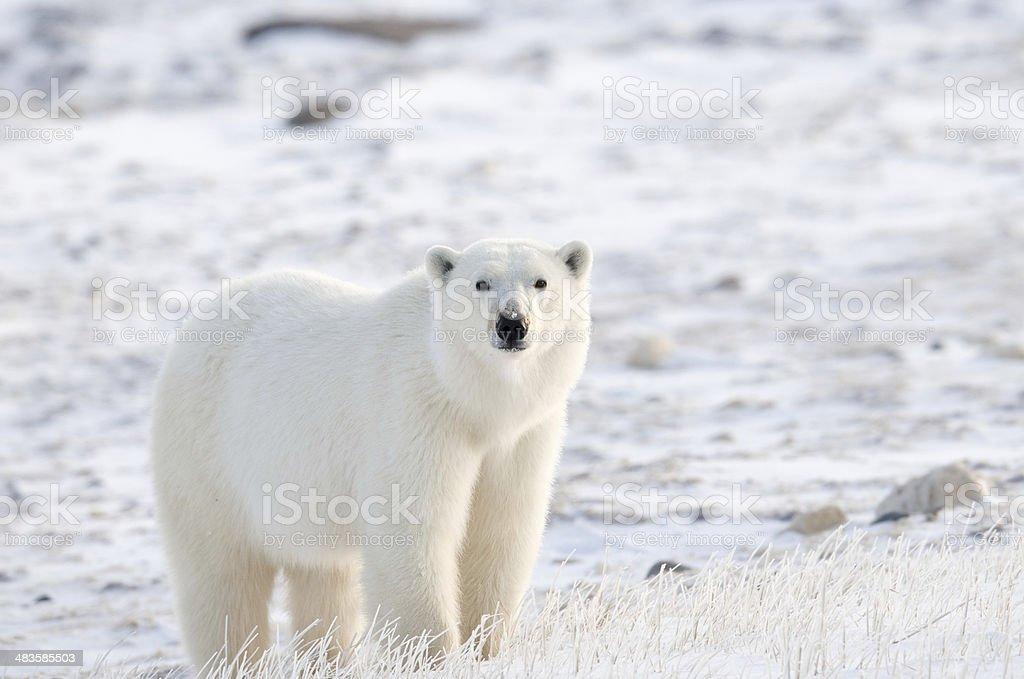 Tundra Polar stock photo