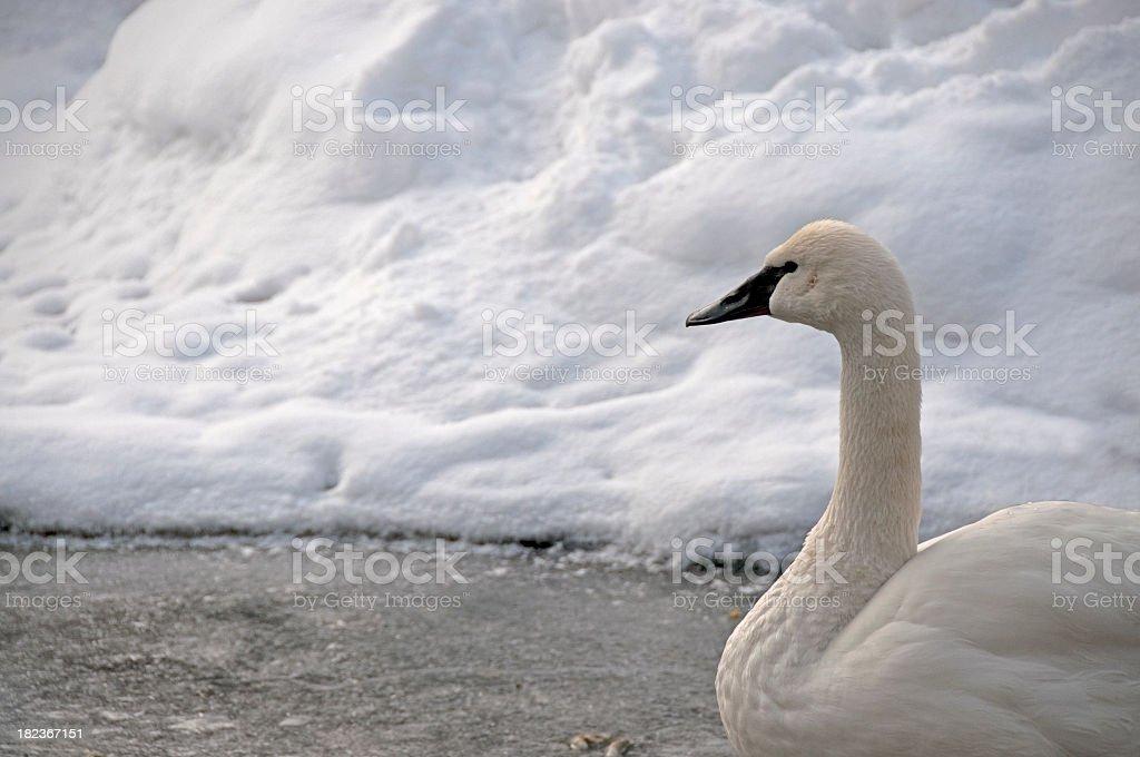 Tundra Swan In Winter stock photo