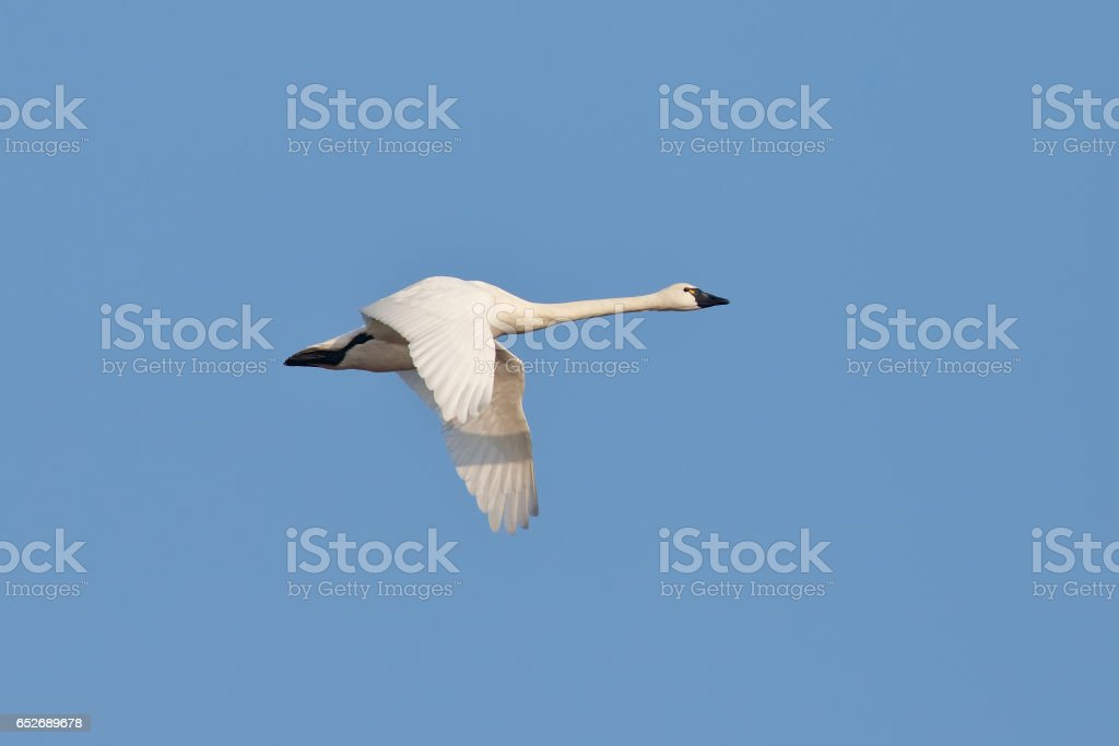 Tundra Swan Migrating in the Spring - Ontario, Canada stock photo