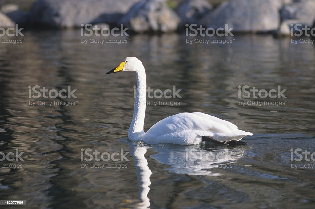 Tundra swan on a lake in Montana stock photo