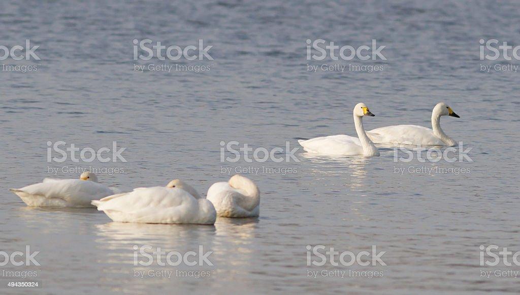 Tundra Swan (Cygnus columbianus) stock photo