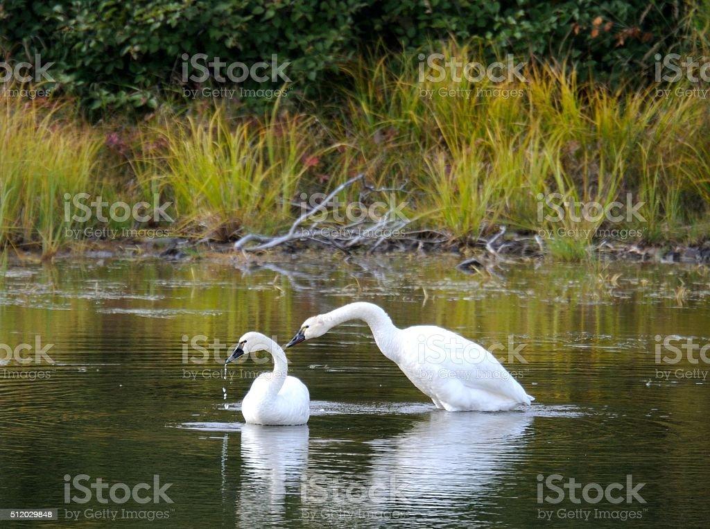 Tundra Swan stock photo