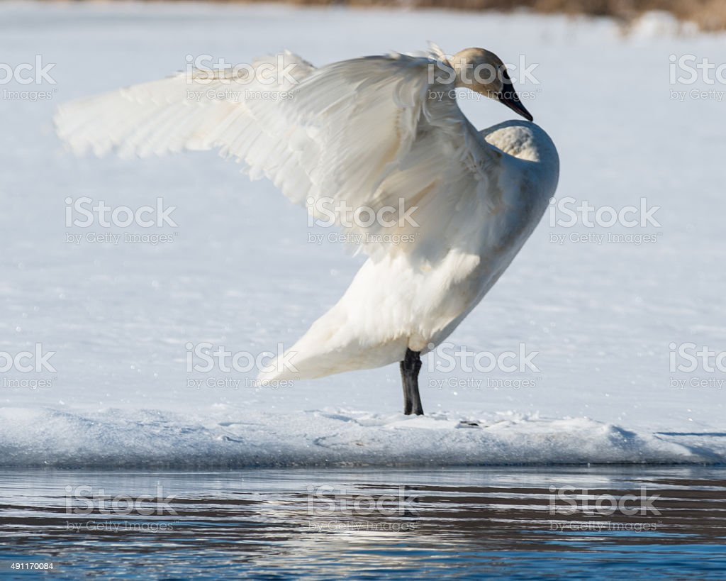 Tundra Swan Spreads its wings stock photo