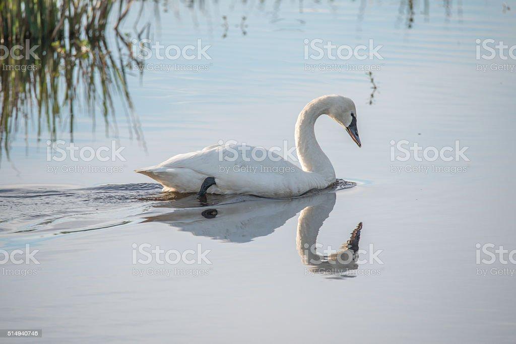Tundra swan swimming on lake surface in Lake Mattamuskeet stock photo
