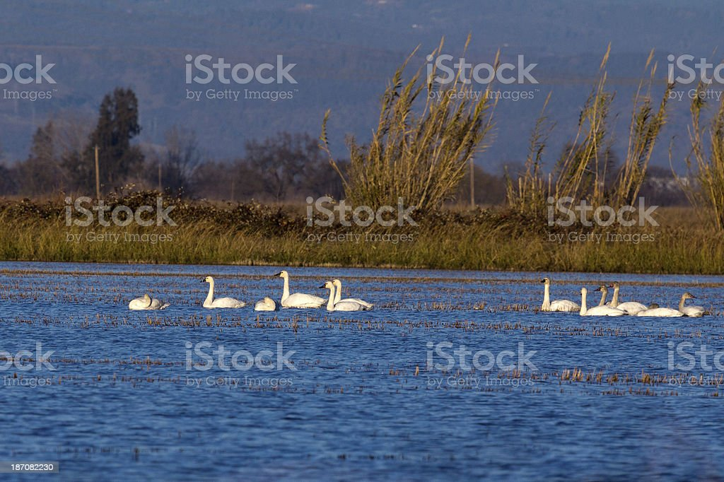 Tundra Swans at sunset stock photo