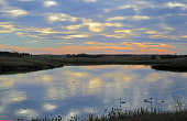 Tundra Swans during migration on a prairie pond, sunrise,calm