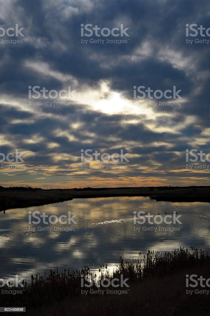 Tundra Swans during migration on a prairie pond, sunrise,calm stock photo