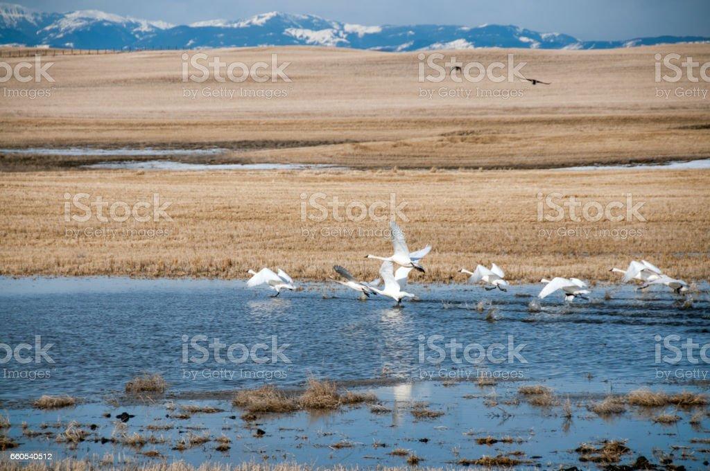 Tundra Swans flying over grain field stubble. stock photo