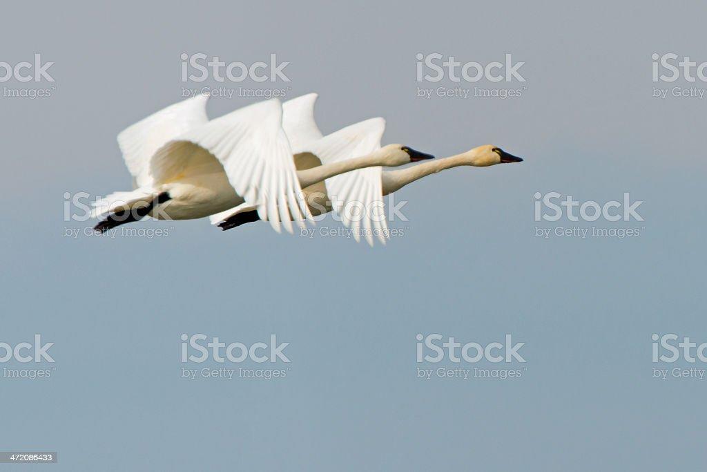 Tundra Swans Flying stock photo