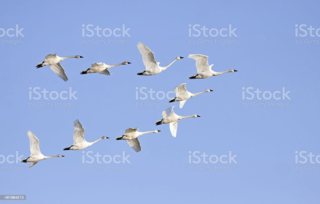 Tundra Swans in Flight stock photo