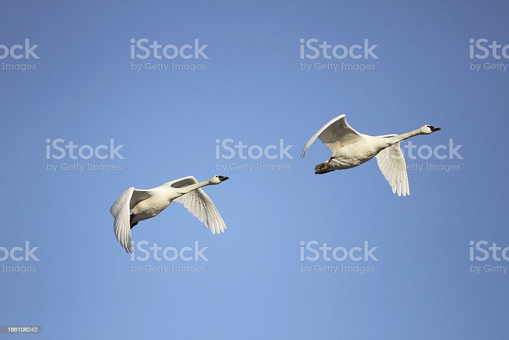 Tundra Swans Migrating in Spring stock photo