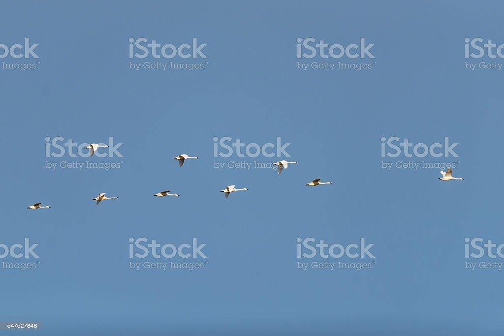 Tundra Swans stock photo