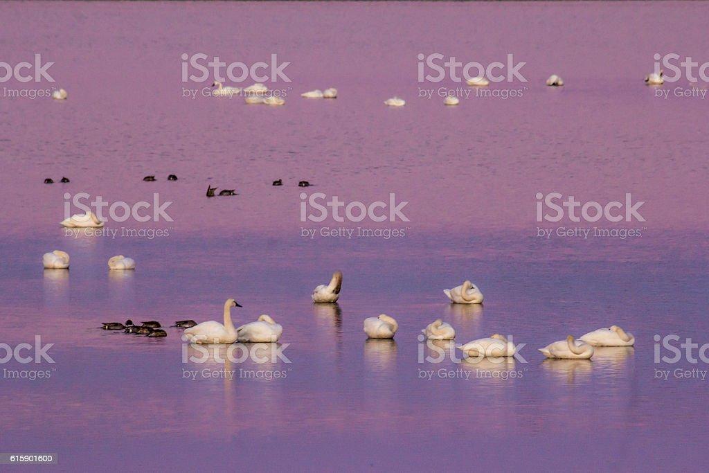 Tundra Swans Reflecting Sunset stock photo