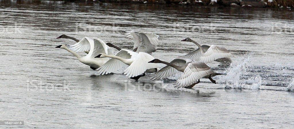 Tundra Swans take Flight royalty-free stock photo