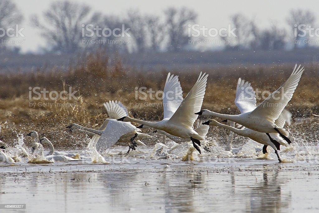 Tundra Swans Taking Flight stock photo