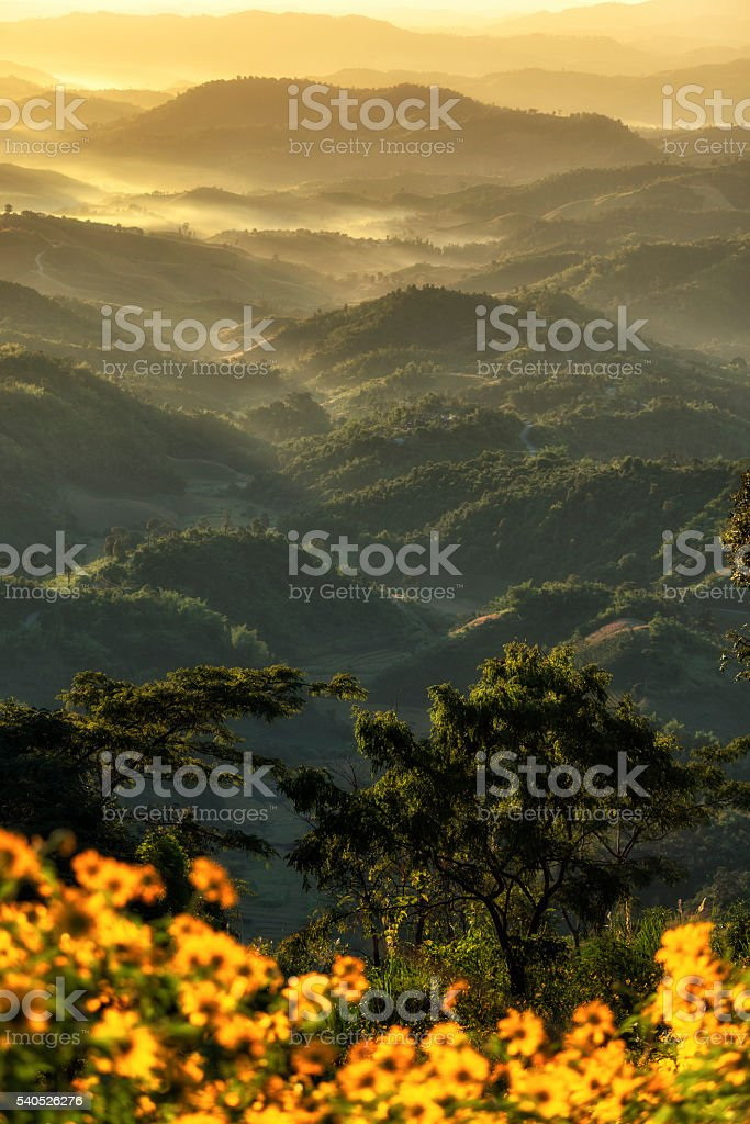 Tung Bua Tong at Doi Hua Maekham,Chiangrai stock photo