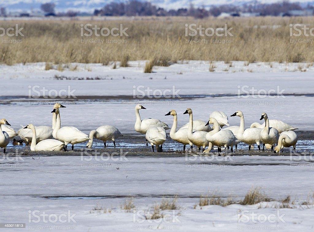 Tunrdra Swans at Bear River stock photo