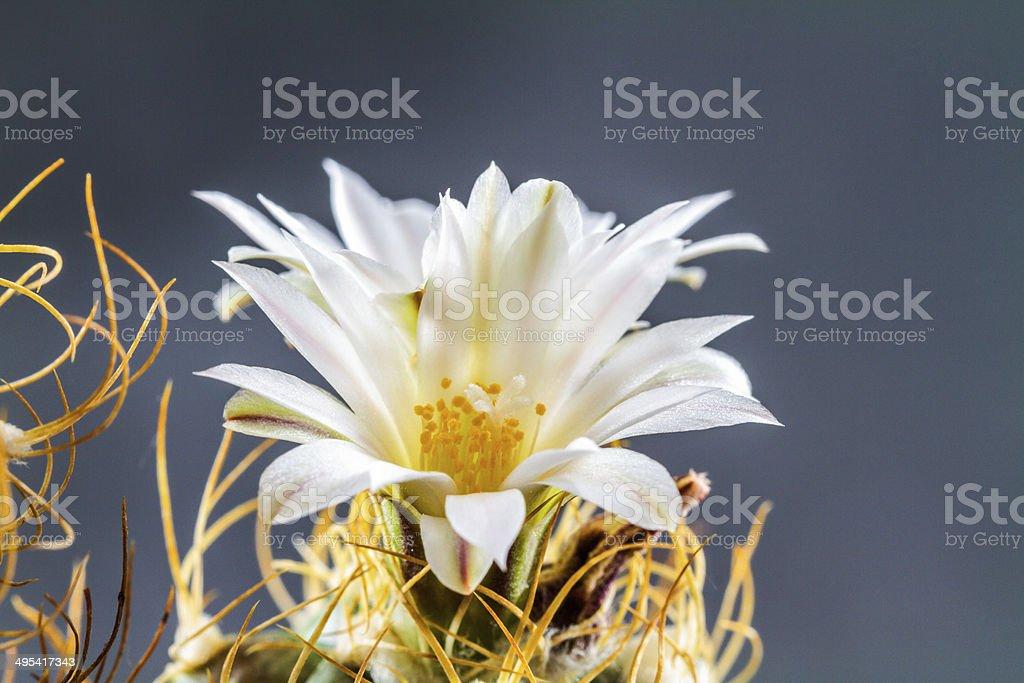 Turbinicarpus Pseudomacrohele Lizenzfreies stock-foto