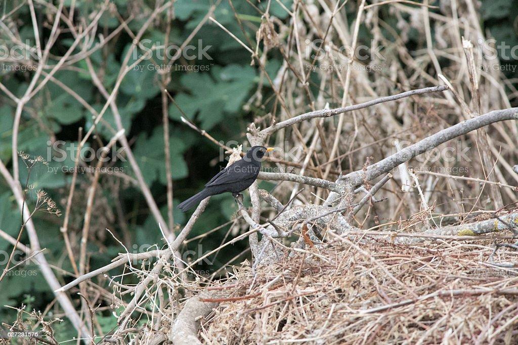 Turdus merula resting on a branch stock photo