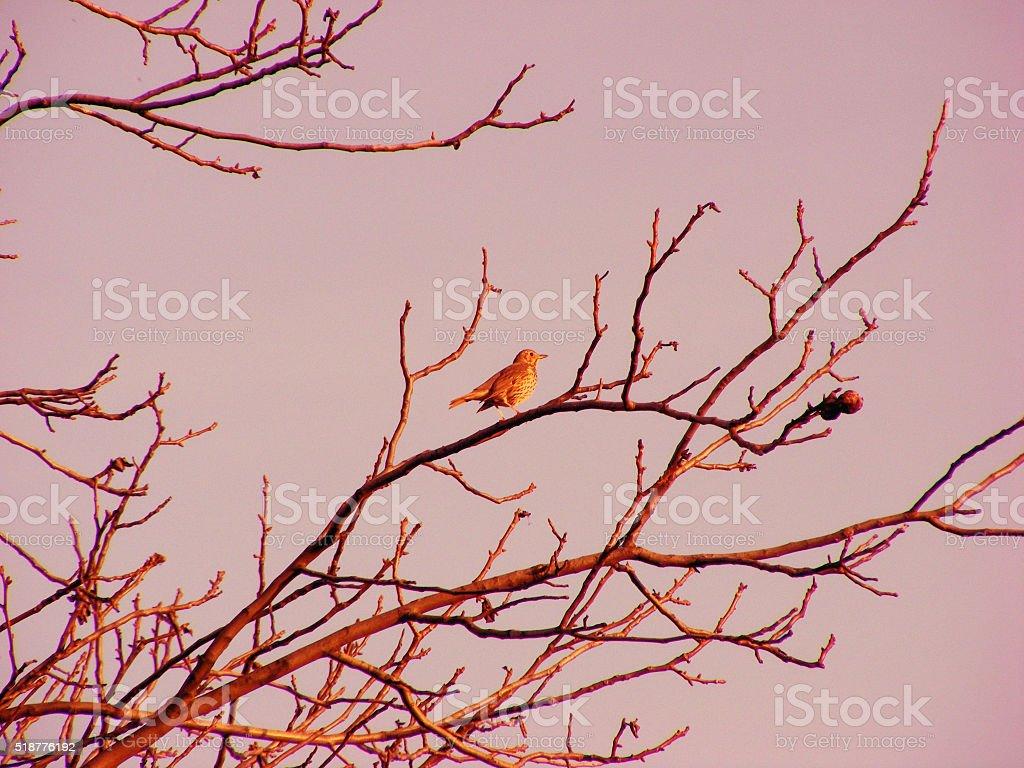 Turdus philomelos bird stock photo