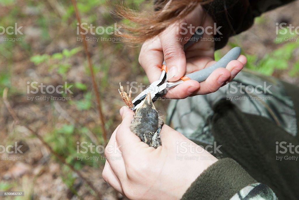 Turdus pilaris, Fieldfare stock photo