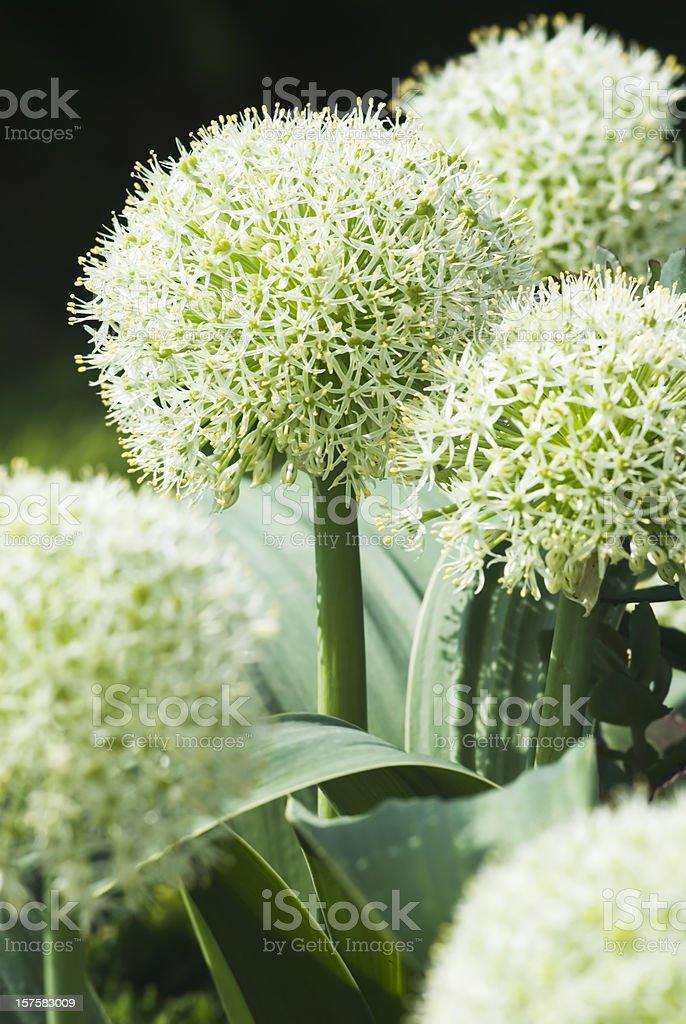 Turkestan Onion (Allium karataviense) 'Ivory Queen' - III royalty-free stock photo