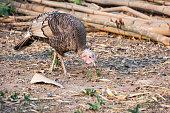 Turkey cock or Turkey bird with green background