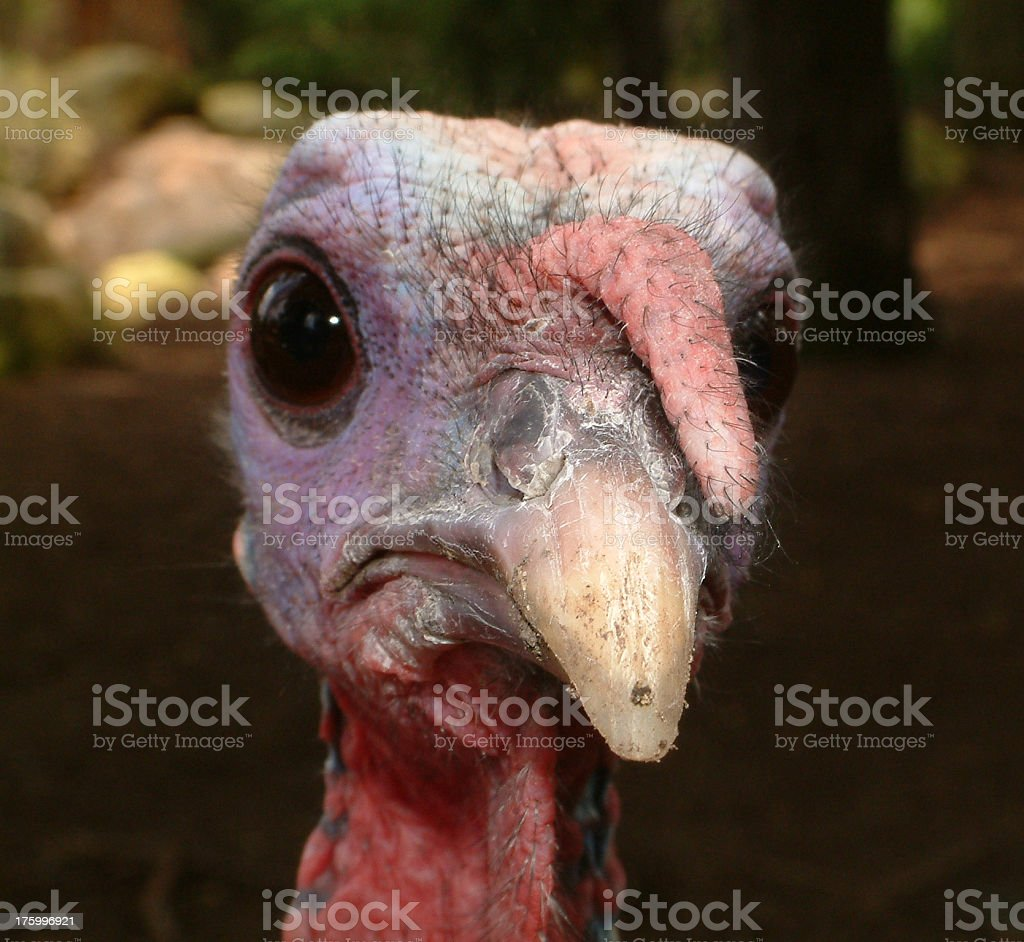 Turkey Face royalty-free stock photo