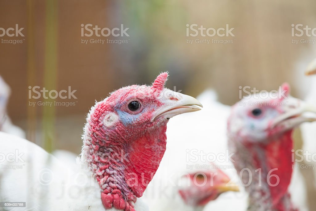 Turkey heads stock photo